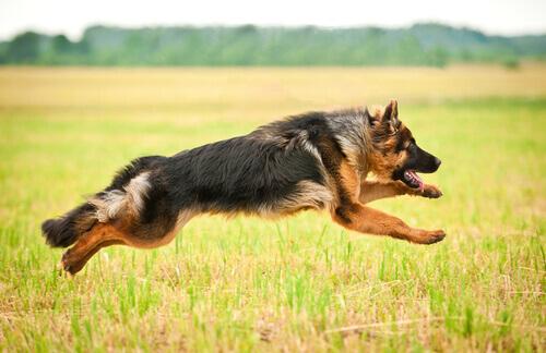 pastore tedesco salta sul prato