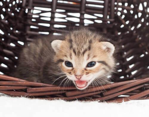 gattino nel cesto