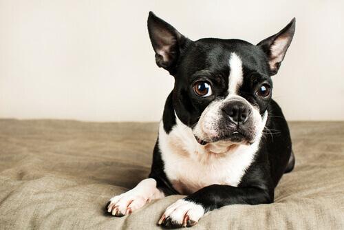 Boston terrier seduto