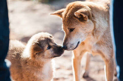 Consigli per far accoppiare i cani con successo