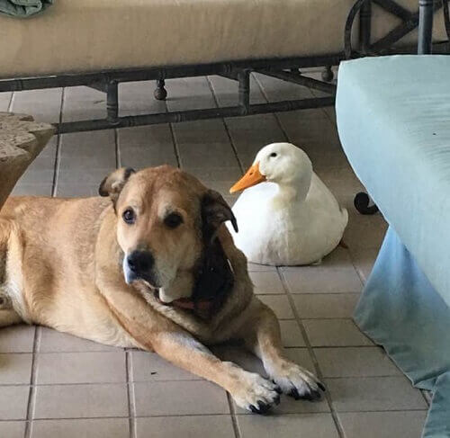 Cane depresso guarisce grazie alla sua nuova amica anatra