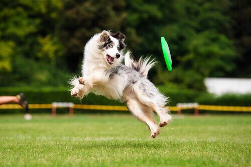 cane che salta con frisbee sul prato