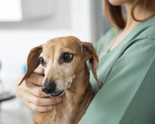 Come prendersi cura di un cane epilettico
