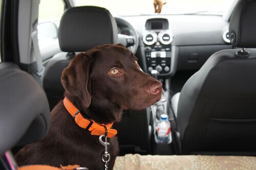 cane sul sedile in macchina
