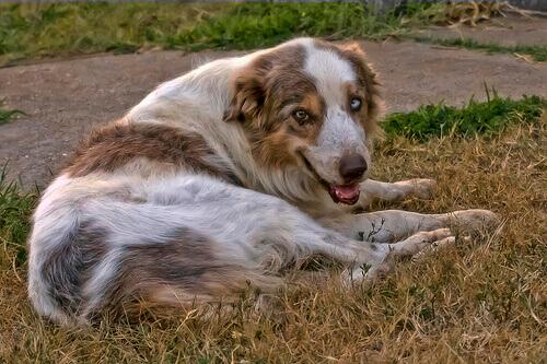 Sapete come si tratta l'artrite nei cani?