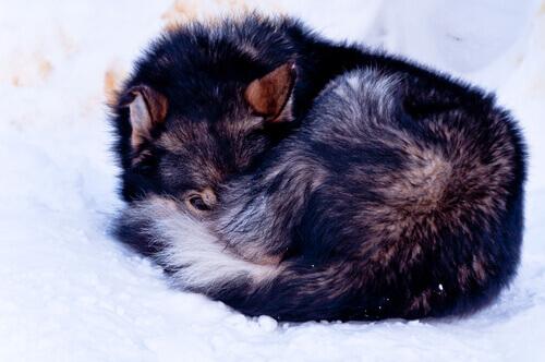 Cane accucciato sulla neve