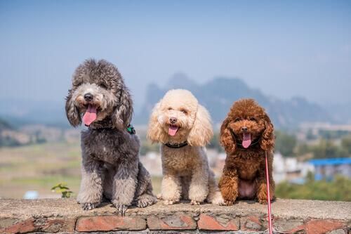 Cani del gruppo 8: classificazione delle razze secondo la FCI