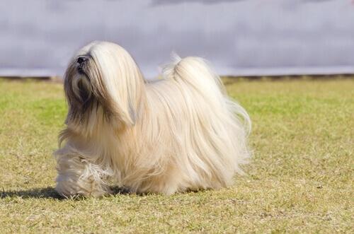 Cani del gruppo 9: classificazione delle razze secondo la FCI