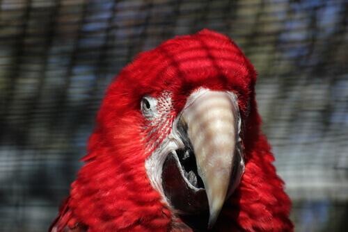 pappagallo rosso in primo piano