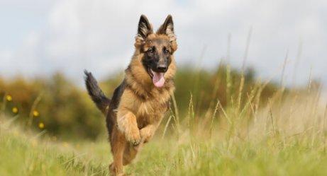 pastore tedesco tra razze di cani robusti