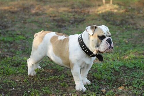 Conosciamo le 8 razze di cani più costose