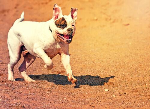 Bulldog americano che corre