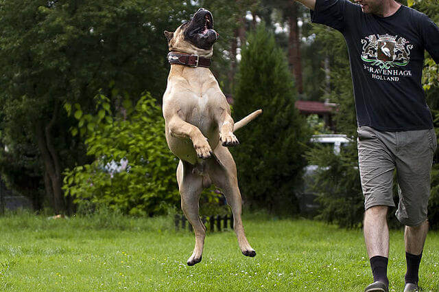 Dogo canario: un cane davvero particolare