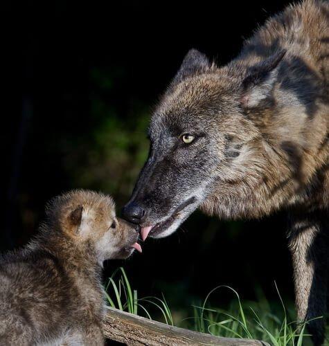 lupo iberico con cucciolo
