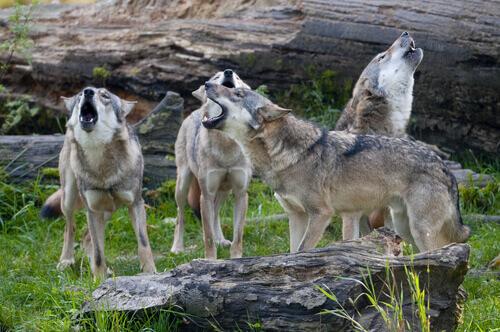 Il comportamento di un branco di lupi