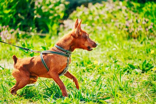 cagnolino fulvo al guinzaglio sull'erba