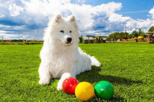 cane bianco sul prato con giochi interattivi