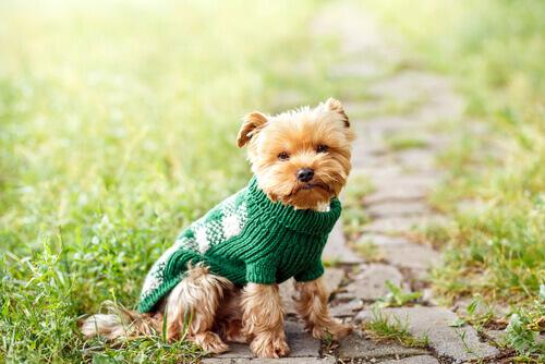cane con maglioncino verde nel prato