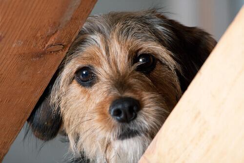 cane con il muso tra due assi di legno