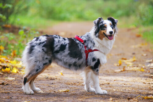 cane a macchie con pettorina rossa