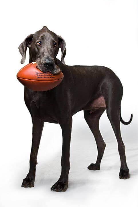 Cane grande con palla da rugby