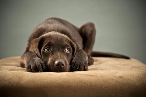 cucciolo di labrador marrone ha paura