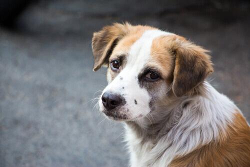 Segnali che mostrano che il vostro cane prova dolore