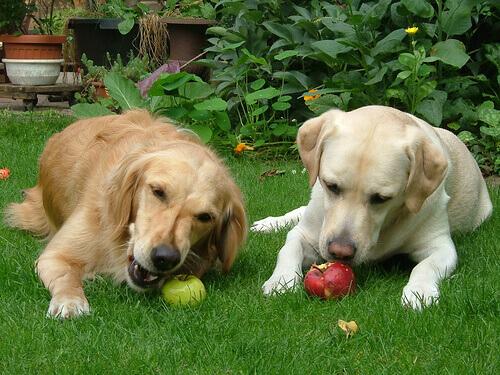 cani che mangiano mele in giardino