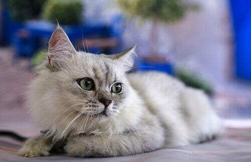 Comunicazione felina: il vostro gatto parla