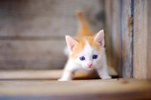 gattino color bianco e arancione