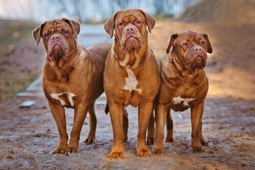 Il Dogue de Bordeaux: una razza meravigliosa