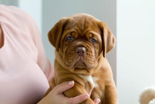 cucciolo di Dogue de Bordeaux