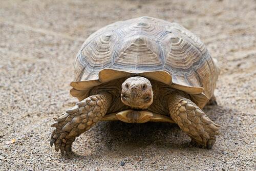 Come calcolare l'età di una tartaruga?
