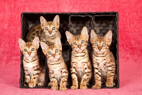 cuccioli di Bengala tra razze di gatti più costose