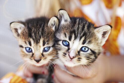 padrona con due gattini tigrati