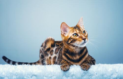 Gatto del Bengala, un leopardo in miniatura in casa