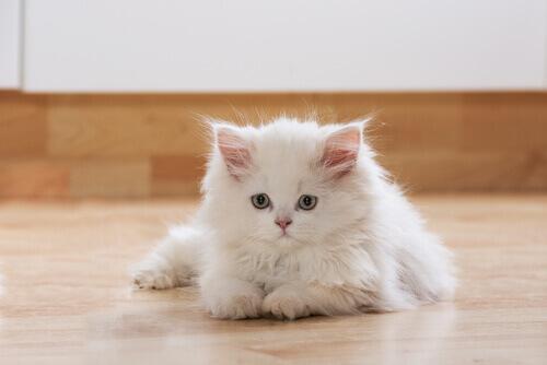 gatto bianco a pelo lungo per terra