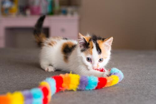 gatto calico gioca con sciarpa colorata