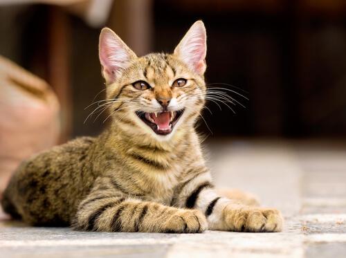 gatto tigrato che miagola