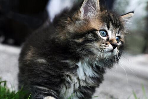 Conosciamo insieme le razze di gatti più costose