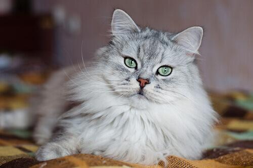 gatto grigio e bianco con occhi verdi seduto su coperta