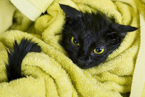 gatto nero avvolto in asciugamano giallo