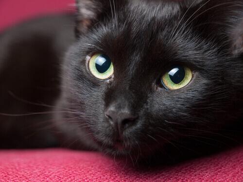 gatto nero con occhi verdi