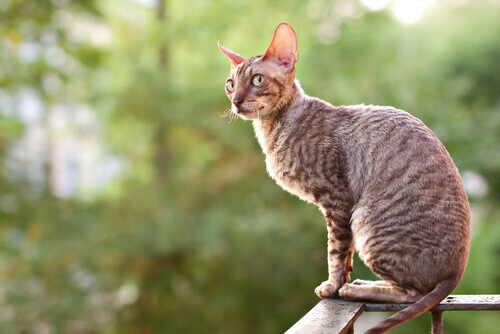 gatto razza Cornish Rex seduto