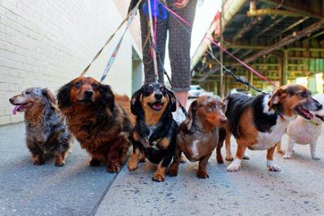 gruppo di cani a passeggio al guinzaglio