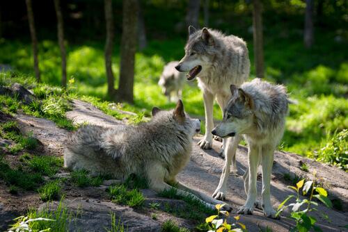 branco di lupi nella foresta