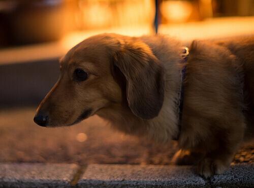 Nuovo farmaco contro la paura dei fuochi artificiali nei cani