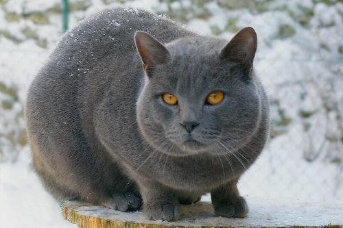 Conosciamo insieme le razze di gatti a pelo corto