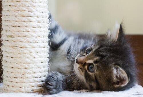 gattino gioca con tiragraffi