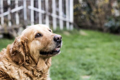 Golden retriever anziano in giardino